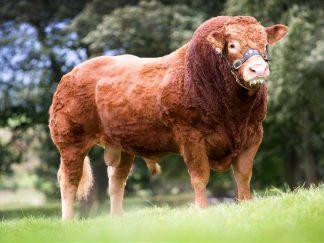 Jasper side stance Limousin Bull